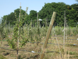 Kingston Black apples in the new orchard