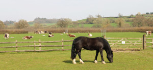 One of the farm horses with English Longhorns in the background
