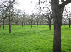An old orchard of standard trees