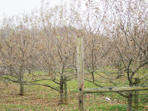 Heritage trees in the mother orchard